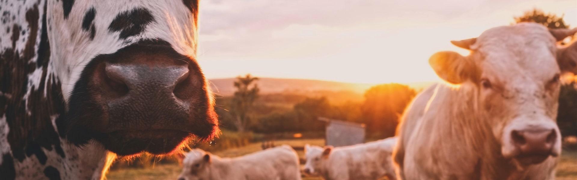 Banner - Exportação de gado vivo